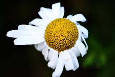 Daisy by Gomer08