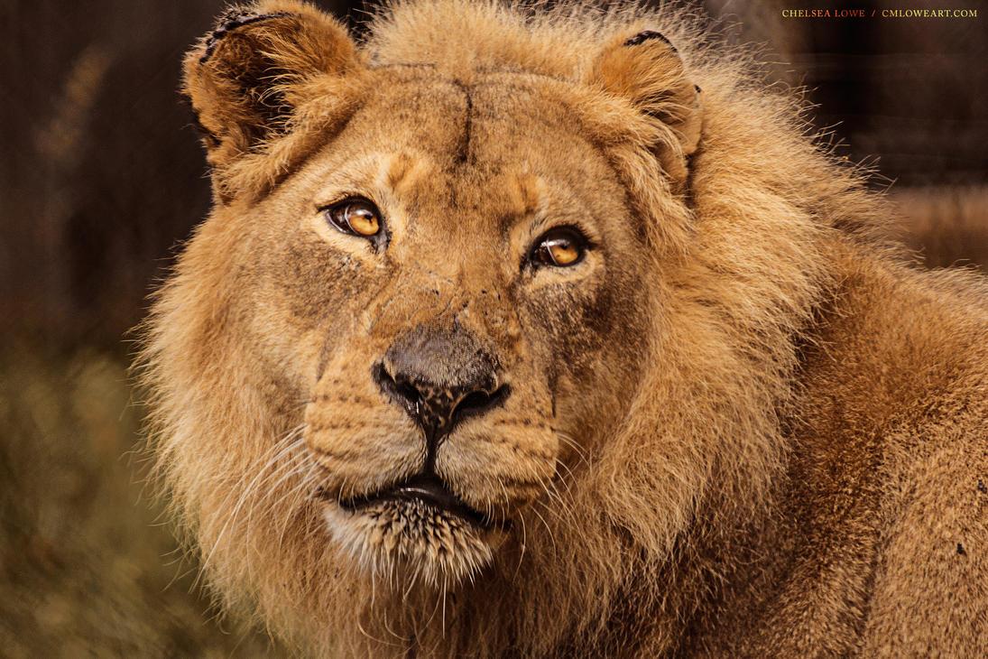 Lion - 1.001 by Islandstar