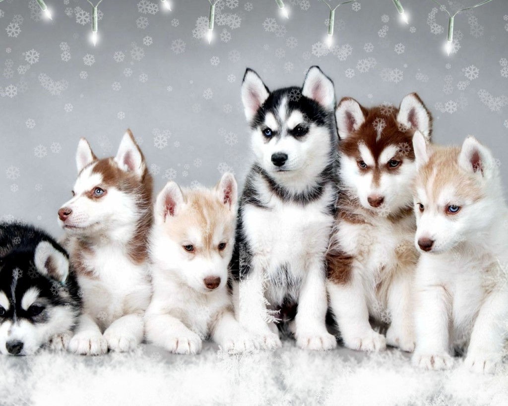 Pomsky puppies with blue eyes pomsky puppies