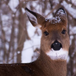 Snow Deer by rachapunk