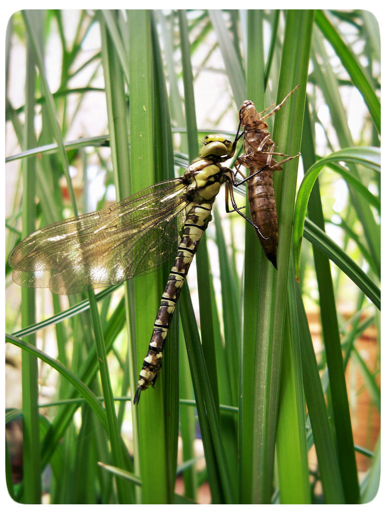 Ecdysis, dragonfly by PeteHamilton