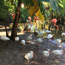 Ibises and Dire Pink Ones