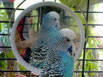 Blue Budgie Close Up by Jesseka-maree