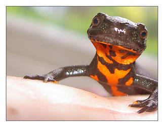 Salamander by Kaptur