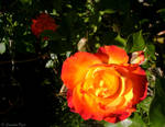 Rose by SnowhiteTiger
