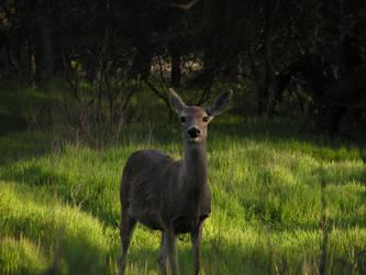 deer by Christshonna
