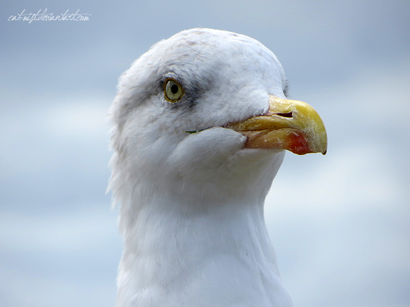 Portrait of a Seagull by Cat-Mist