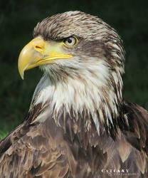 Bird Of Prey by Catlaxy