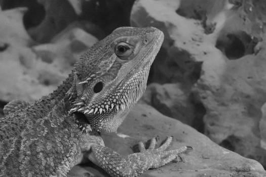 Bearded Dragon Winston