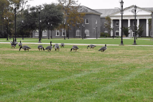 Geese On Campus Lawn