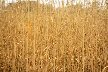 Forgotten Rice Fields