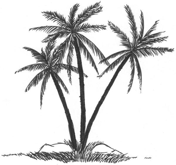 palm tree with coconuts drawing - photo #20