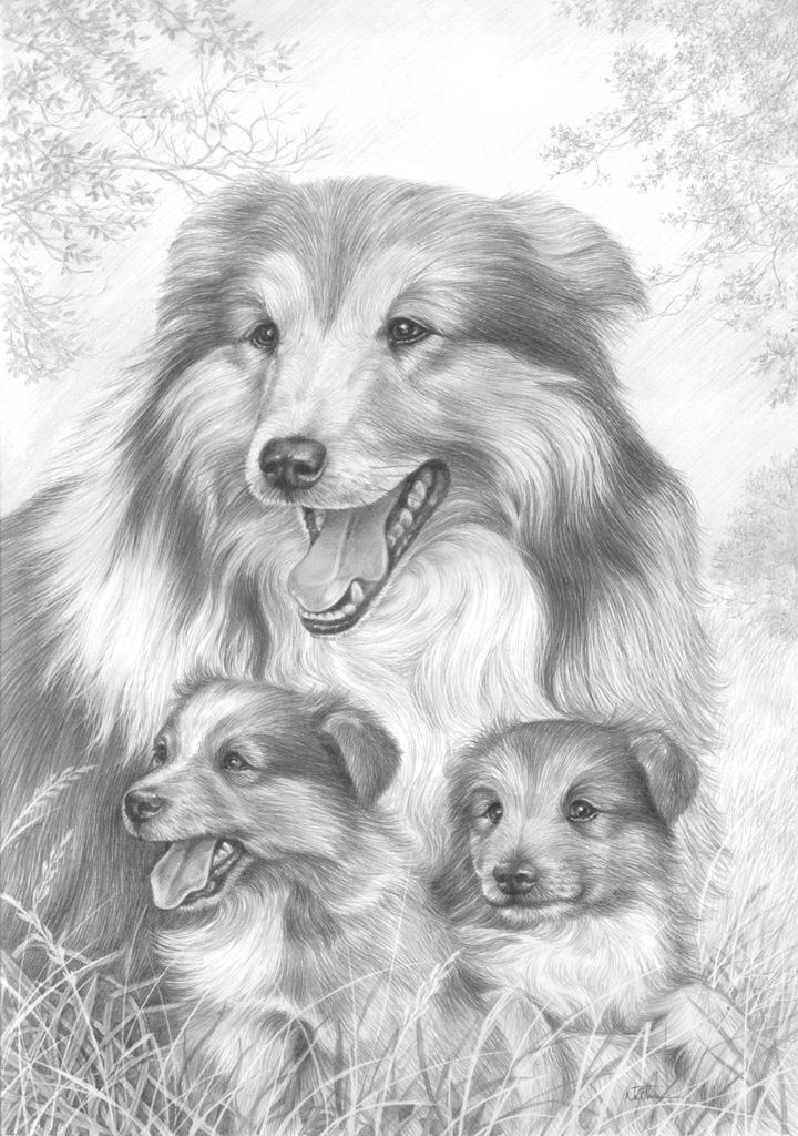 rough collie coloring pages - photo#36