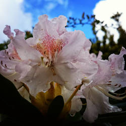 Rhododendron by dragonmind