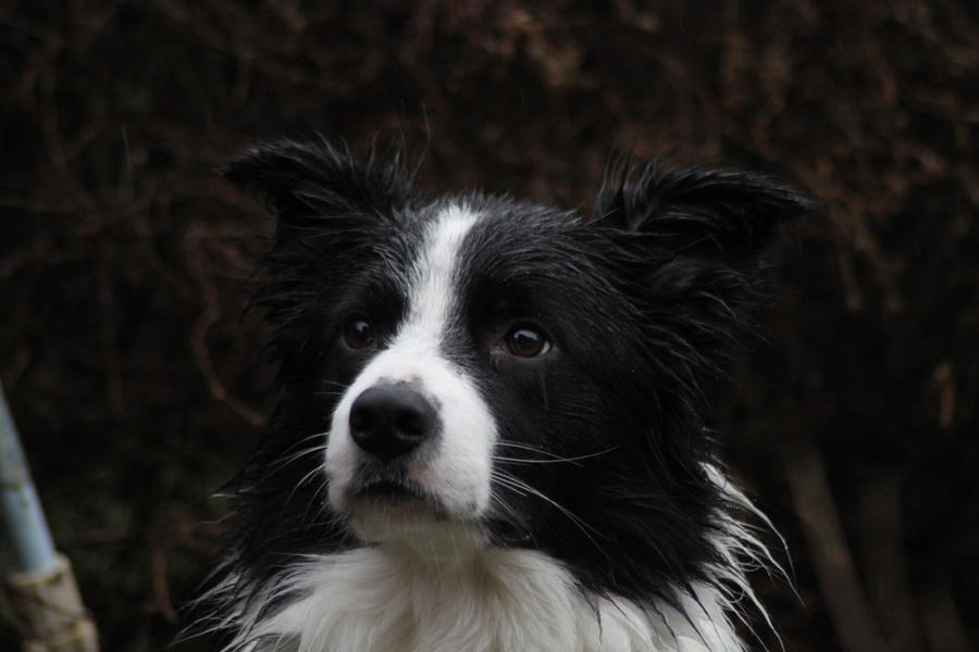 Collie Dogs 27 by Tasastock