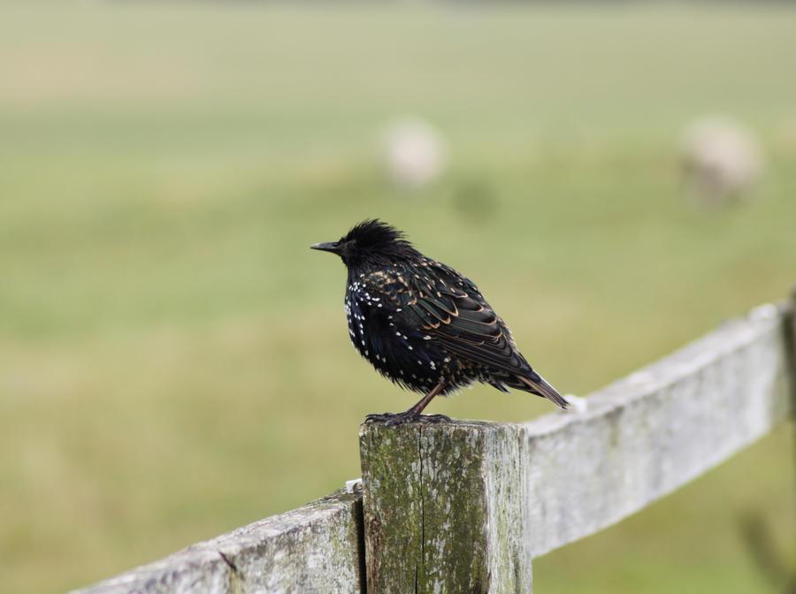 Starlings 2 by Tasastock