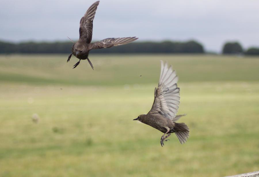 Starlings 4 by Tasastock