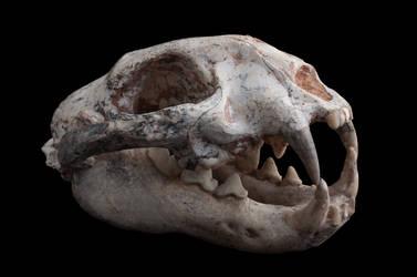 Metailurus Major Fossil Skull 5 by Tasastock