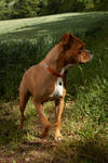 Boxer Puppy 9 by Tasastock