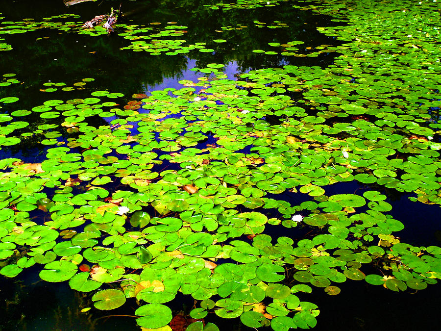 Waterlily Pond 1