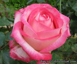 A Rose by kirys79