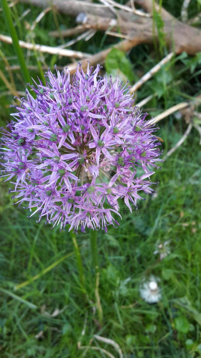 Allium giganteum / Zierlauch by VikaVorik