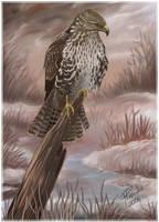 Common buzzard by Emberiza
