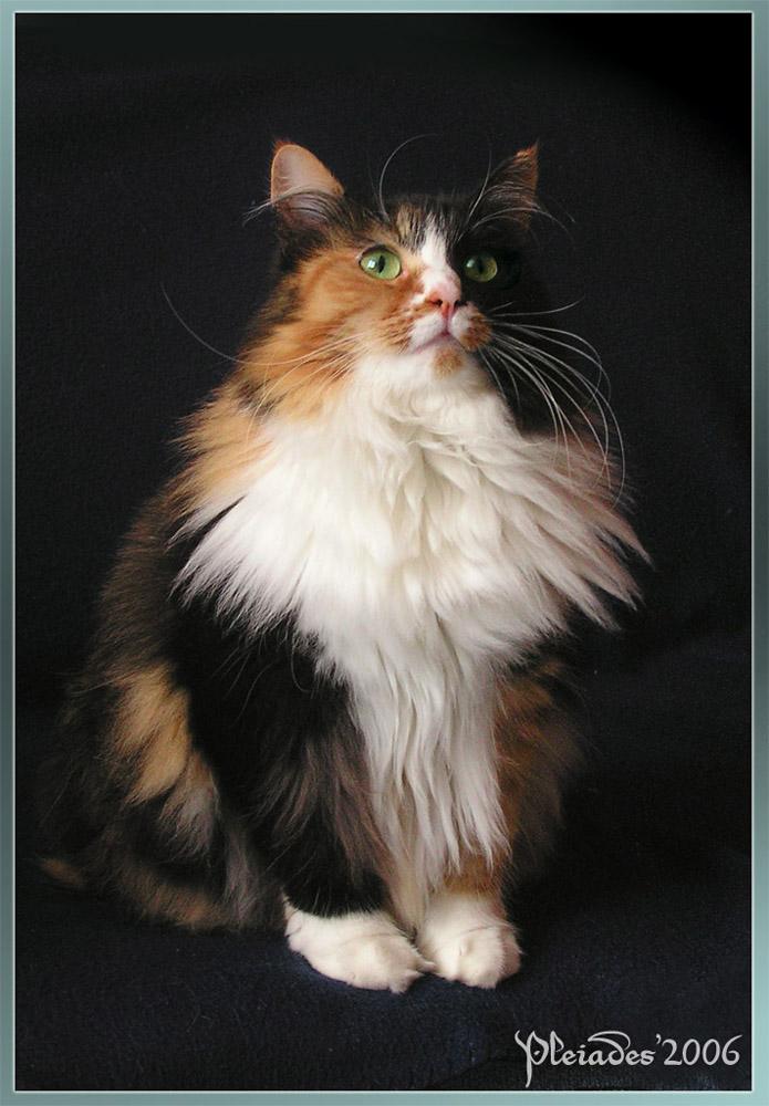 Foudrys Werkstatt 2015 My_princess_cat___portrait_2_by_Emberiza