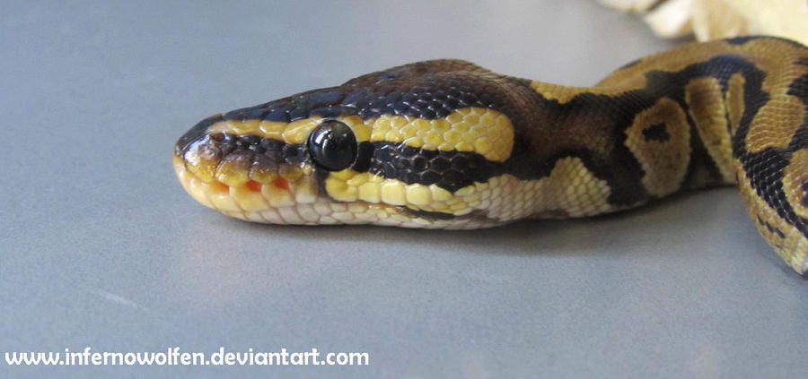 Baby Ball Python Head by VorpalBeast