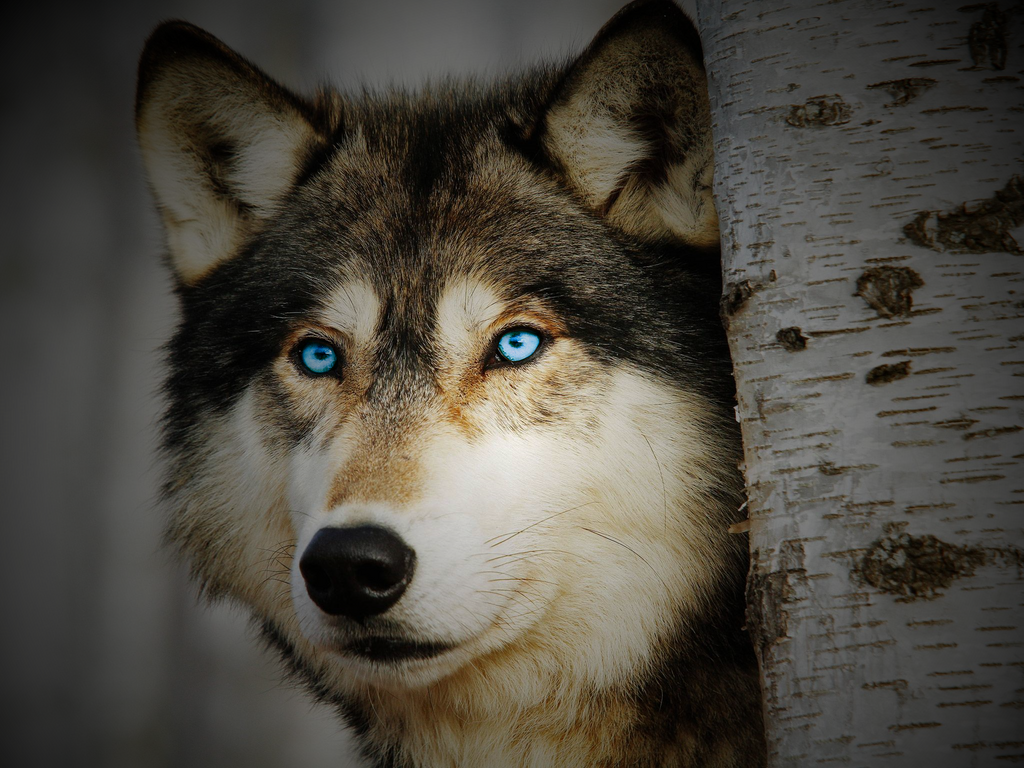 White wolf wallpaper with blue eyes - photo#25