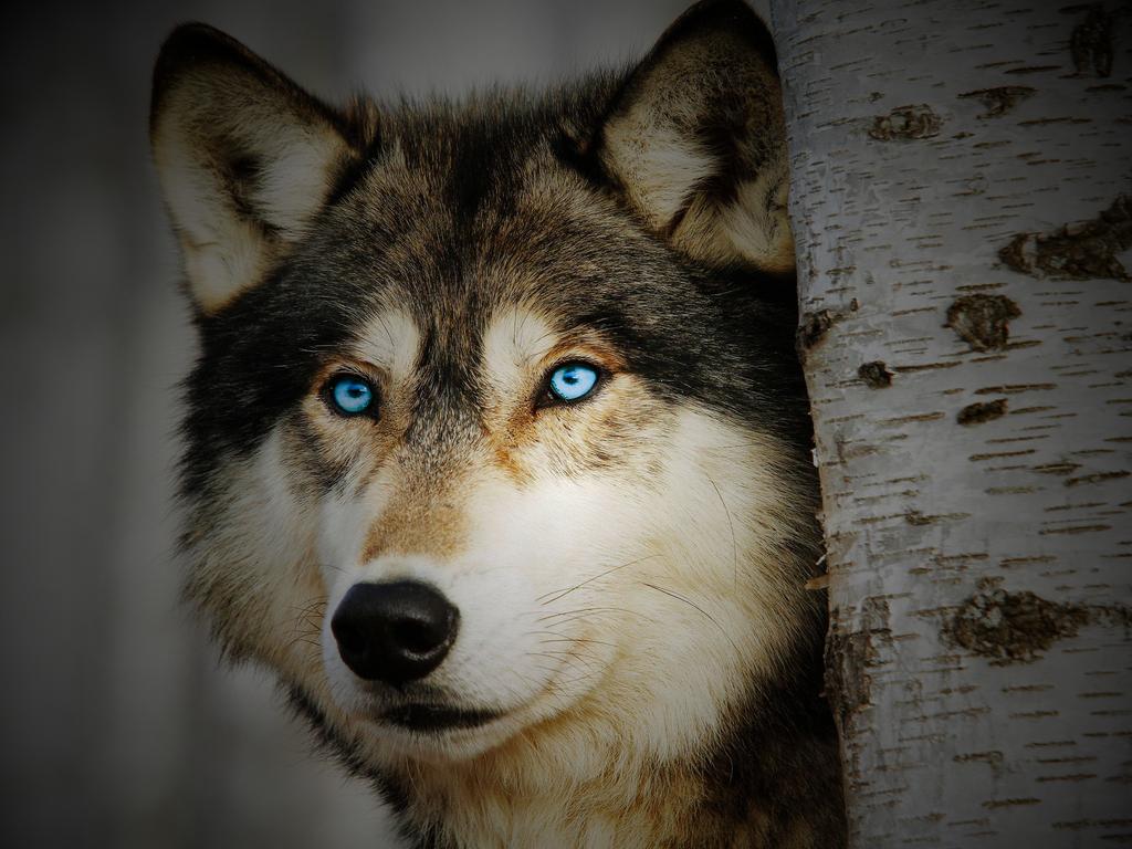 Black Wolf Dog With Blue Eyes