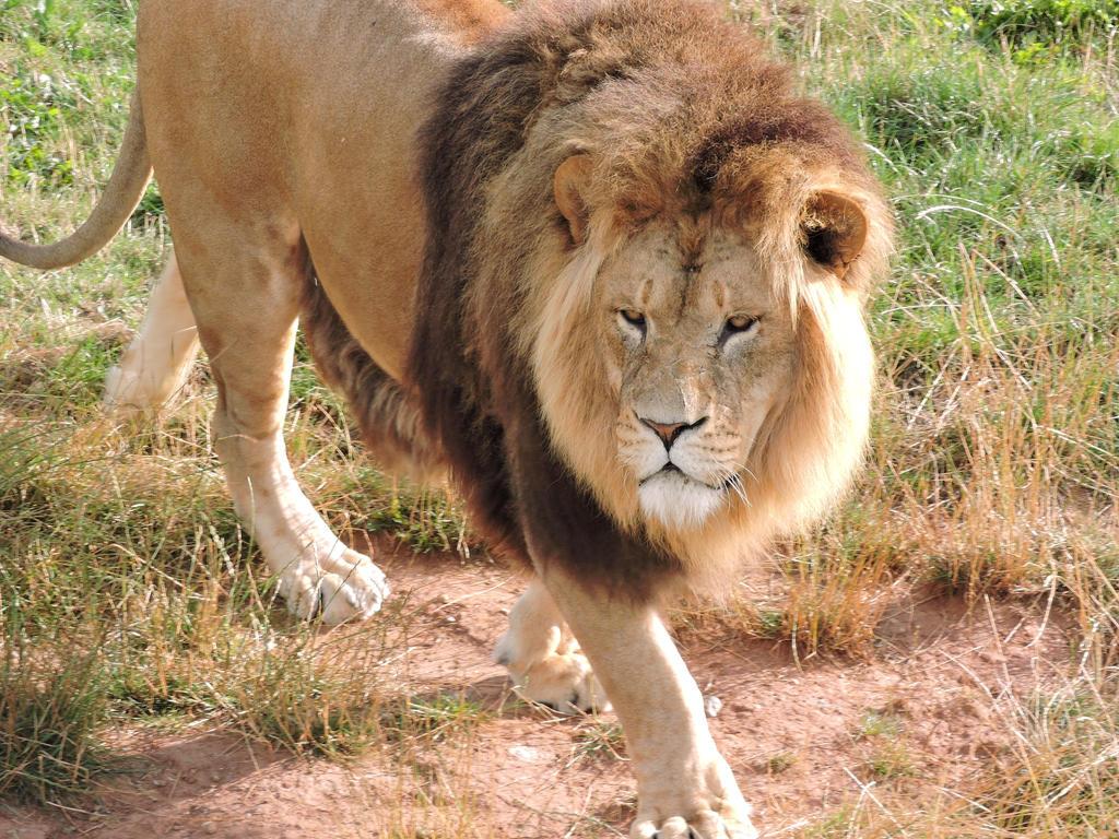 Lion Yorkshire Wildlife Park 2-8-2014 by bellesprince
