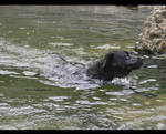 Dog in river III
