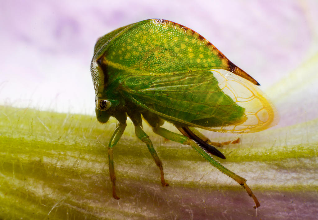 Cutest Cicada by borda