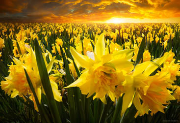 Daffodils by borda