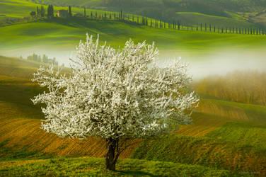 Wild Cherry by borda