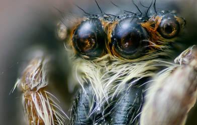 Big Eyes - Jumping Spider by borda