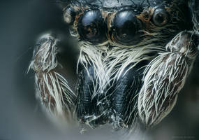 Jumping Spider II