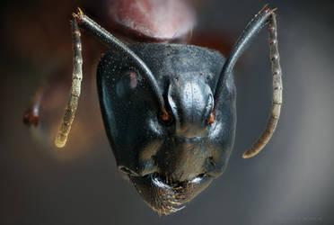 Ant Portrait by borda