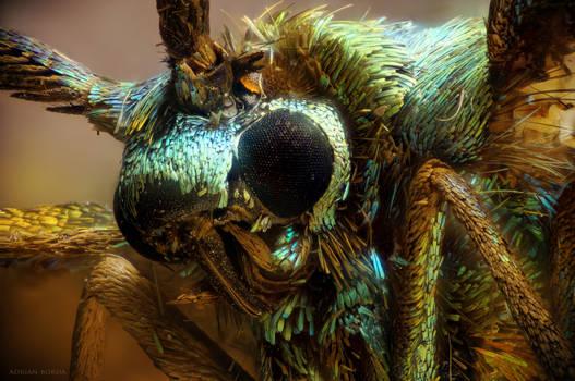 Jordanita globulariae moth