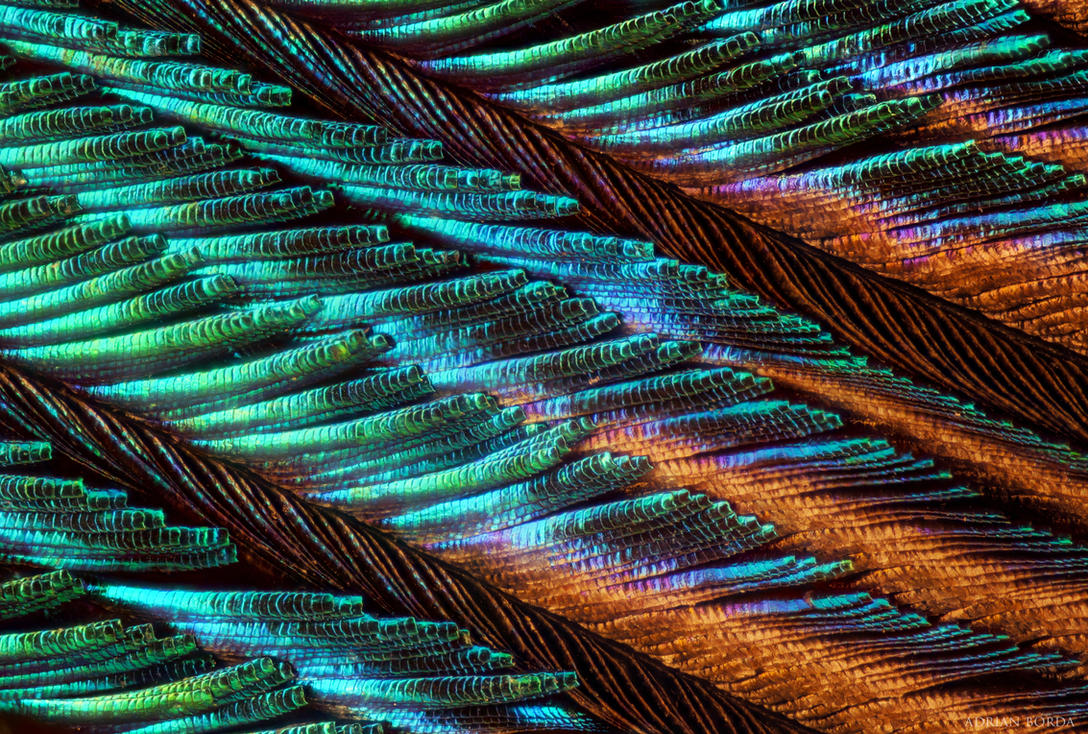 Peacock Feather under microscope by borda