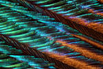 Peacock Feather under microscope