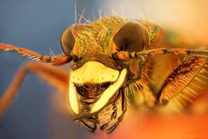Tiger Beetle by borda