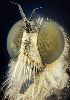 Robber Fly Portrait