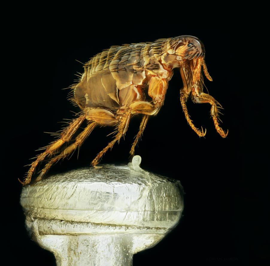 Mankind's oldest companion - Flea on a pin by borda