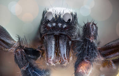 Sweet Dreams (are made of this) spider portrait by borda