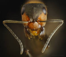 Red Ant portrait stock