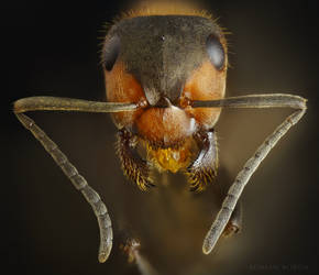 Red Ant portrait stock by borda