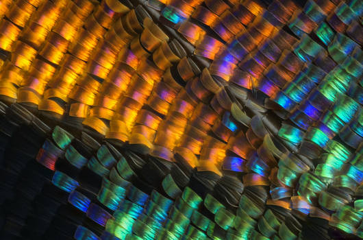 Urania Ripheus butterfly wing scales stock photo