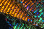 Urania Ripheus butterfly wing scales stock photo by borda